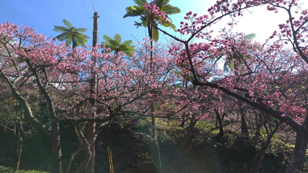 八重岳桜まつり