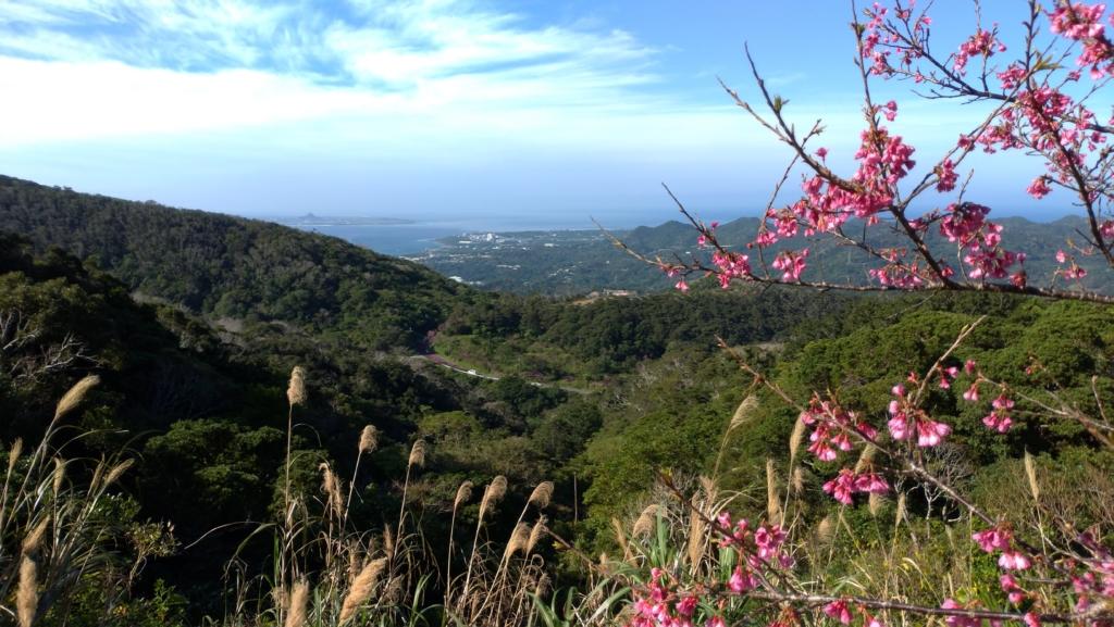 八重岳桜まつり 伊江島